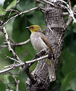 Yellow-throated bulbul (Species : P. xantholaemus)